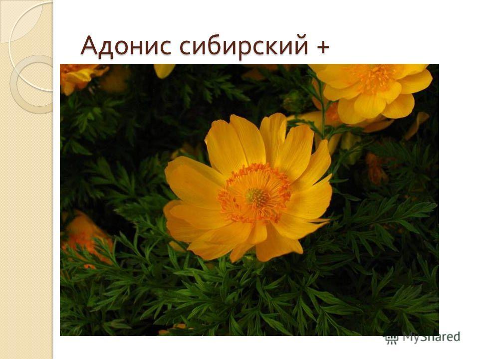 Адонис сибирский +