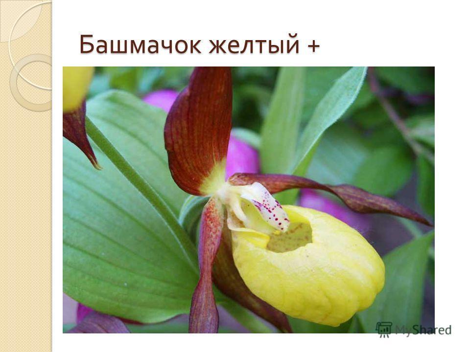 Башмачок желтый +