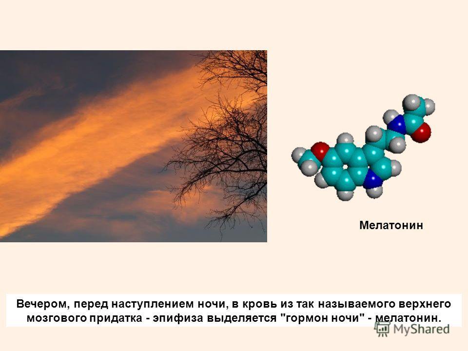 Вечером, перед наступлением ночи, в кровь из так называемого верхнего мозгового придатка - эпифиза выделяется гормон ночи - мелатонин. Мелатонин