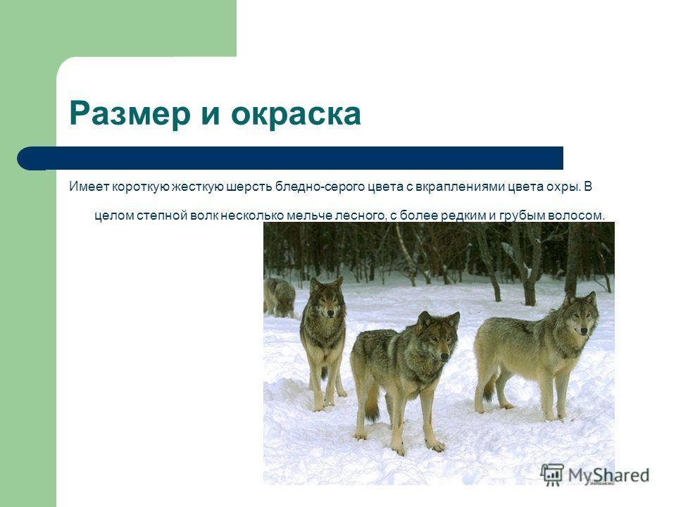 Размер и окраска Имеет короткую жесткую шерсть бледно-серого цвета с вкраплениями цвета охры. В целом степной волк несколько мельче лесного, с более редким и грубым волосом.