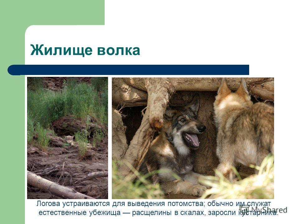 Жилище волка Логова устраиваются для выведения потомства; обычно им служат естественные убежища расщелины в скалах, заросли кустарника.