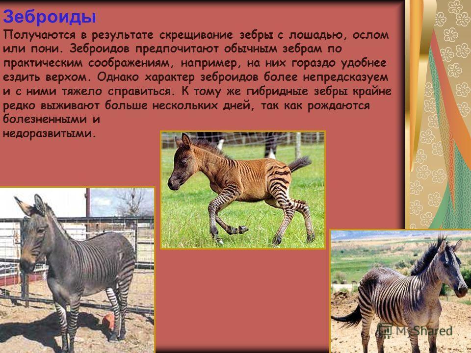 Зеброиды Получаются в результате скрещивание зебры с лошадью, ослом или пони. Зеброидов предпочитают обычным зебрам по практическим соображениям, например, на них гораздо удобнее ездить верхом. Однако характер зеброидов более непредсказуем и с ними т