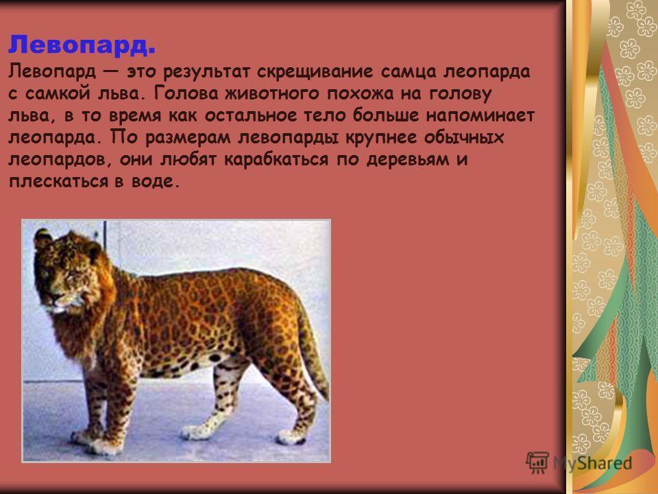 Левопард. Левопард это результат скрещивание самца леопарда с самкой льва. Голова животного похожа на голову льва, в то время как остальное тело больше напоминает леопарда. По размерам левопарды крупнее обычных леопардов, они любят карабкаться по дер