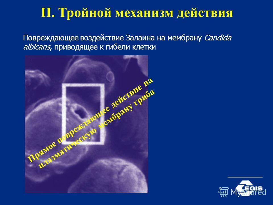 Повреждающее воздействие Залаина на мембрану Candida albicans, приводящее к гибели клетки II. Тройной механизм действия П р я м о е п о в р е ж д а ю щ е е д е й с т в и е н а п л а з м а т и ч е с к у ю м е м б р а н у г р и б а