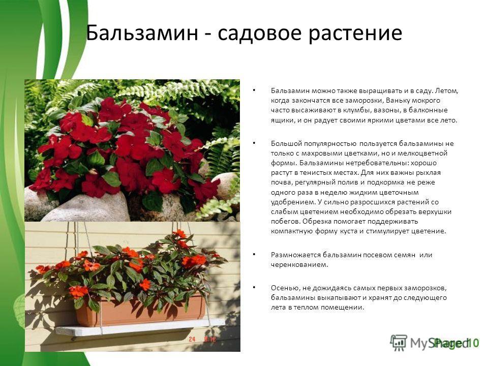 Free Powerpoint TemplatesPage 10 Бальзамин - садовое растение Бальзамин можно также выращивать и в саду. Летом, когда закончатся все заморозки, Ваньку мокрого часто высаживают в клумбы, вазоны, в балконные ящики, и он радует своими яркими цветами все