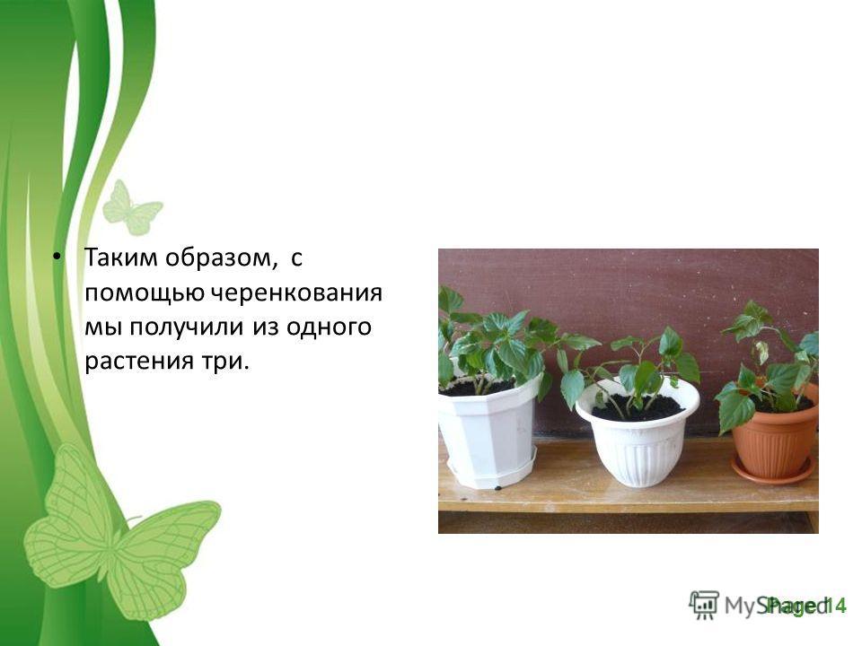 Free Powerpoint TemplatesPage 14 Таким образом, с помощью черенкования мы получили из одного растения три.