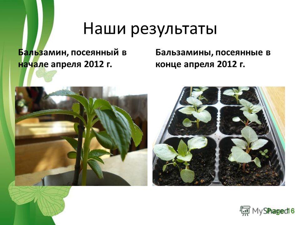 Free Powerpoint TemplatesPage 16 Наши результаты Бальзамин, посеянный в начале апреля 2012 г. Бальзамины, посеянные в конце апреля 2012 г.