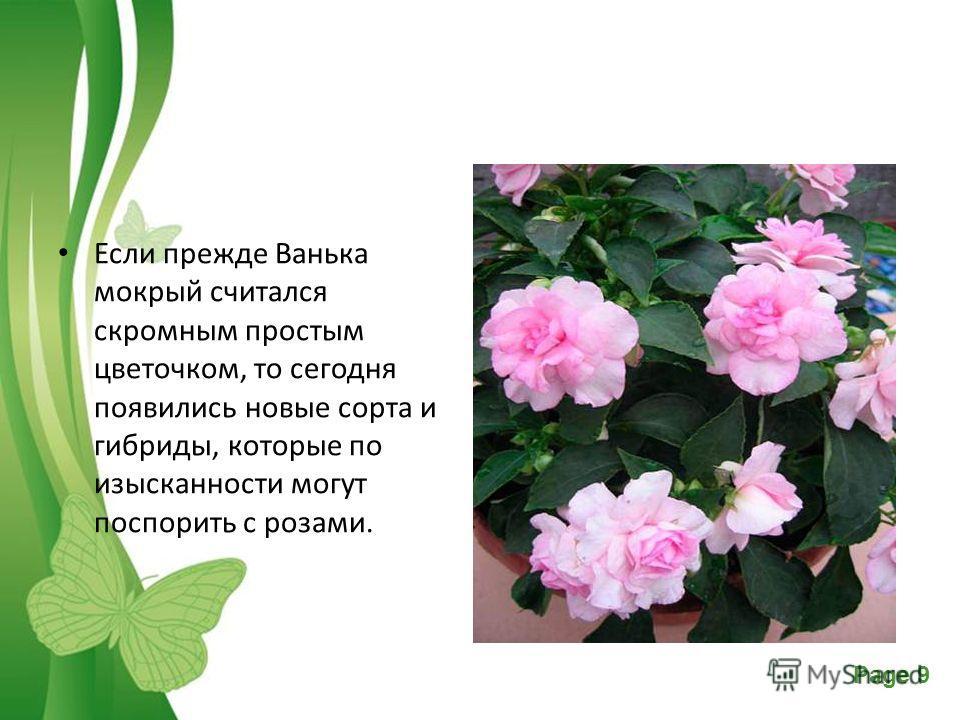 Free Powerpoint TemplatesPage 9 Если прежде Ванька мокрый считался скромным простым цветочком, то сегодня появились новые сорта и гибриды, которые по изысканности могут поспорить с розами.