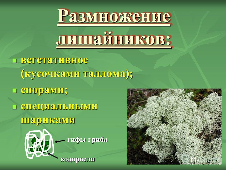 Размножение лишайников: вегетативное (кусочками таллома); вегетативное (кусочками таллома); спорами; спорами; специальными шариками специальными шариками гифы гриба водоросли
