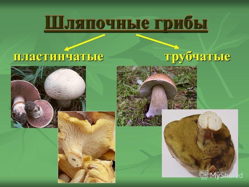 Шляпочные грибы пластинчатыетрубчатые