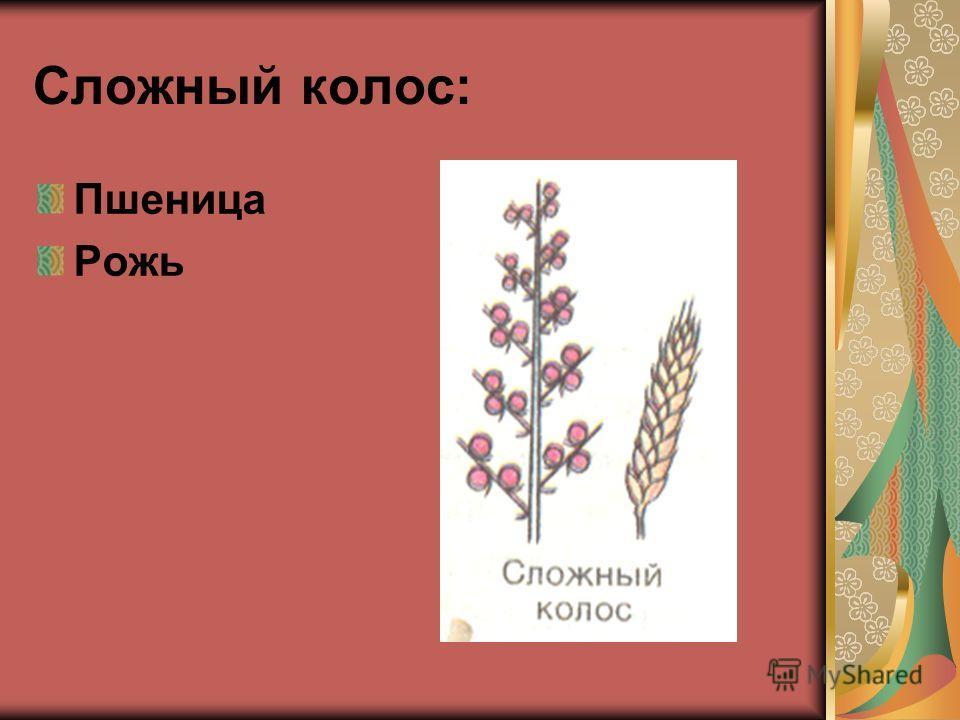 Сложный колос: Пшеница Рожь