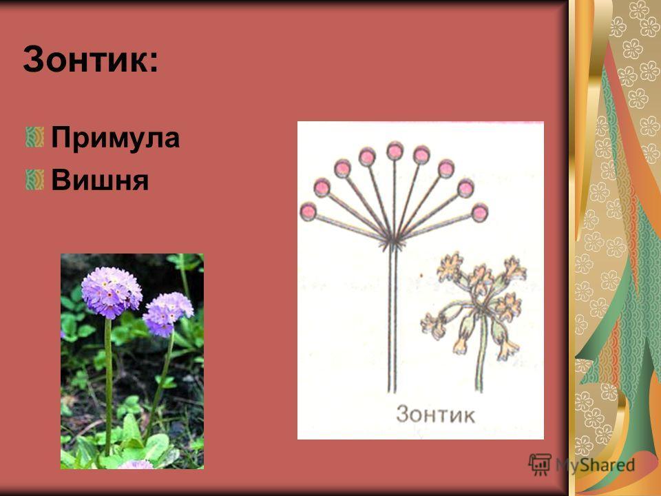 Зонтик: Примула Вишня