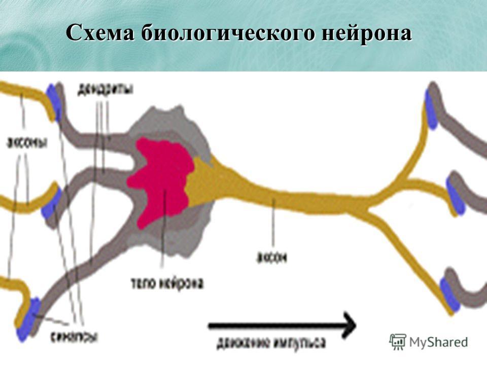 Схема биологического нейрона