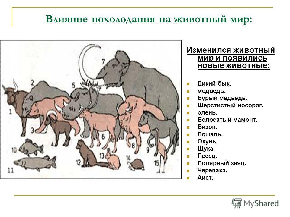 Влияние похолодания на животный мир: Изменился животный мир и появились новые животные: Дикий бык. медведь. Бурый медведь. Шерстистый носорог. олень. Волосатый мамонт. Бизон. Лошадь. Окунь. Щука. Песец. Полярный заяц. Черепаха. Аист.