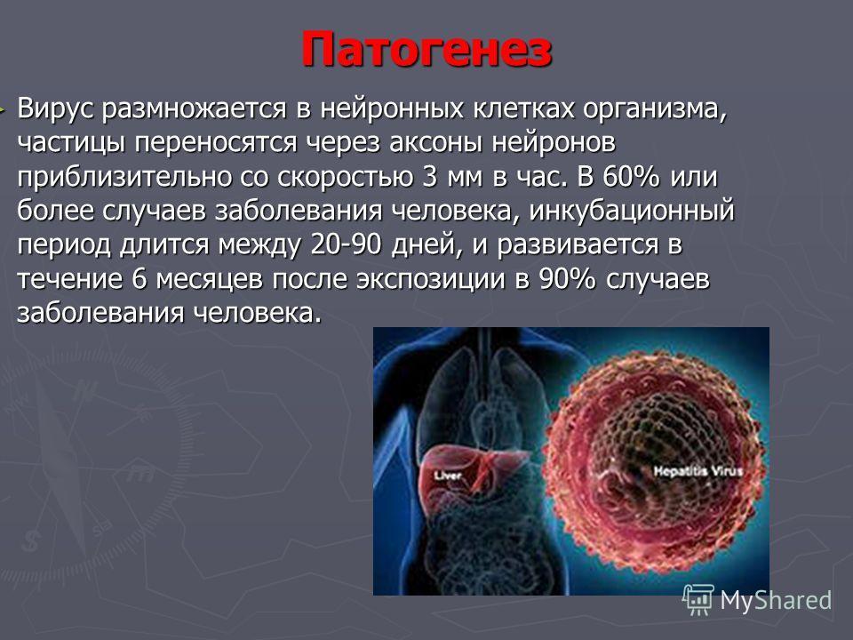 Патогенез Вирус размножается в нейронных клетках организма, частицы переносятся через аксоны нейронов приблизительно со скоростью 3 мм в час. В 60% или более случаев заболевания человека, инкубационный период длится между 20-90 дней, и развивается в