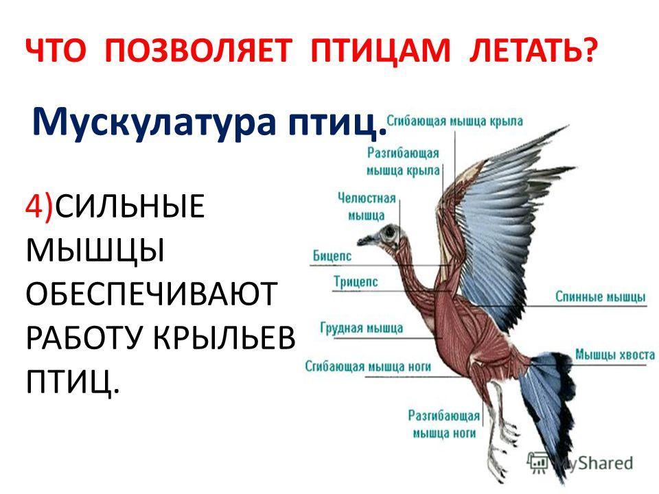Мускулатура птиц. 4)СИЛЬНЫЕ МЫШЦЫ ОБЕСПЕЧИВАЮТ РАБОТУ КРЫЛЬЕВ ПТИЦ. ЧТО ПОЗВОЛЯЕТ ПТИЦАМ ЛЕТАТЬ?
