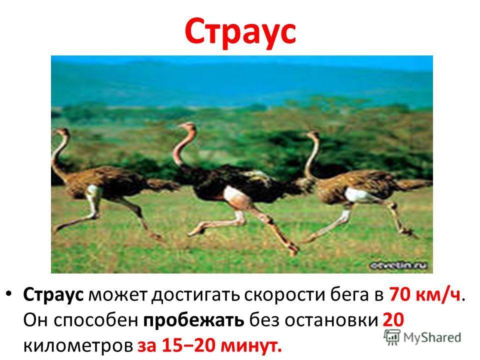 Страус Страус может достигать скорости бега в 70 км/ч. Он способен пробежать без остановки 20 километров за 1520 минут.