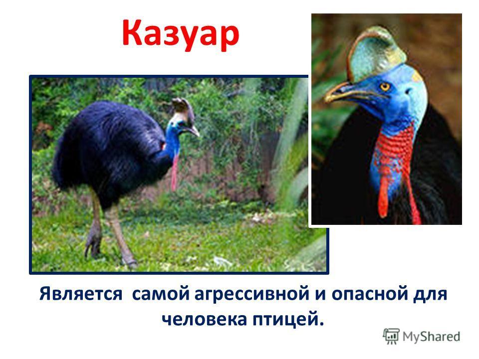 Казуар Является самой агрессивной и опасной для человека птицей.
