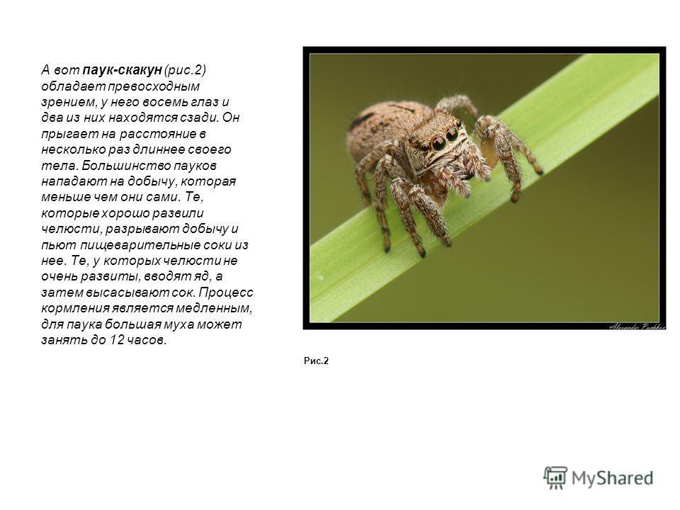 А вот паук-скакун (рис.2) обладает превосходным зрением, у него восемь глаз и два из них находятся сзади. Он прыгает на расстояние в несколько раз длиннее своего тела. Большинство пауков нападают на добычу, которая меньше чем они сами. Те, которые хо