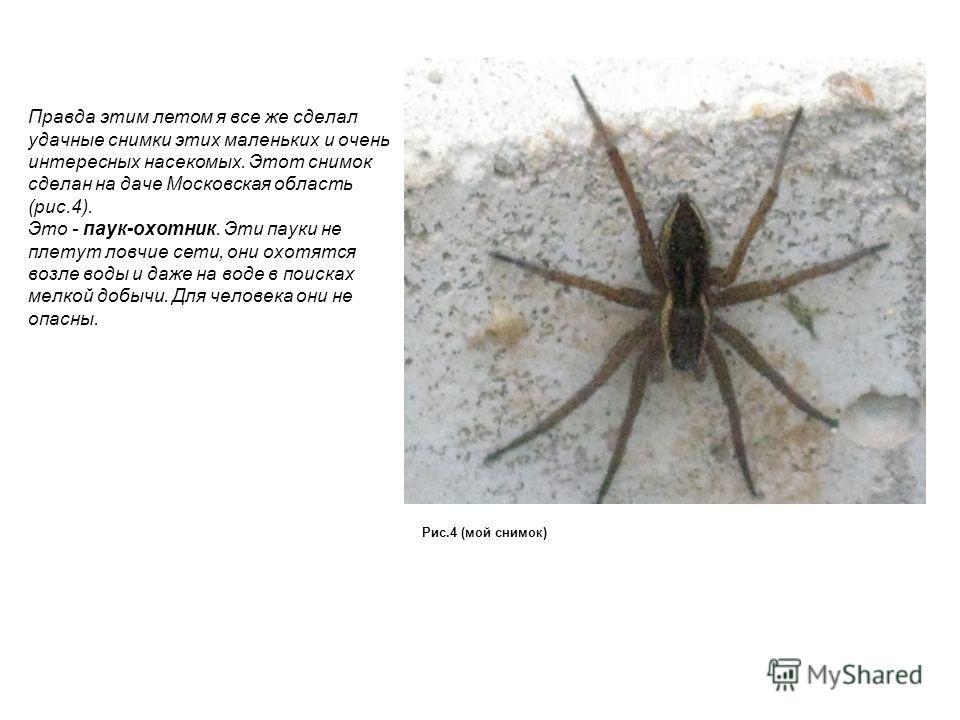 Правда этим летом я все же сделал удачные снимки этих маленьких и очень интересных насекомых. Этот снимок сделан на даче Московская область (рис.4). Это - паук-охотник. Эти пауки не плетут ловчие сети, они охотятся возле воды и даже на воде в поисках