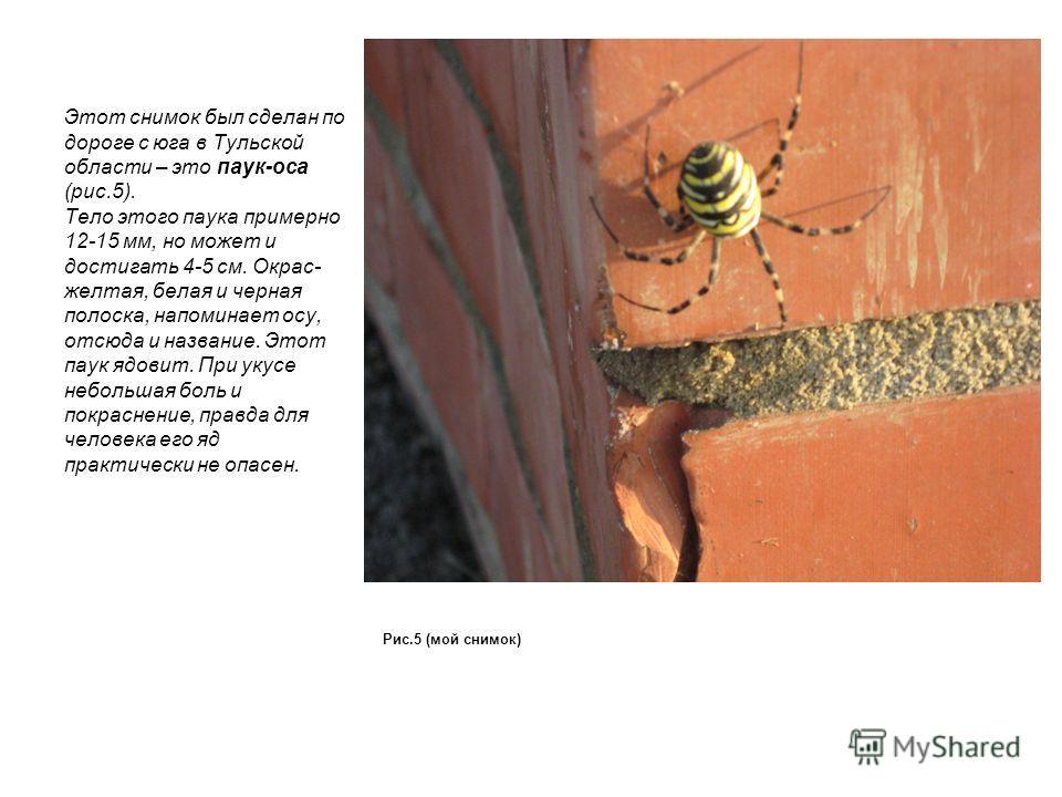 Этот снимок был сделан по дороге с юга в Тульской области – это паук-оса (рис.5). Тело этого паука примерно 12-15 мм, но может и достигать 4-5 см. Окрас- желтая, белая и черная полоска, напоминает осу, отсюда и название. Этот паук ядовит. При укусе н