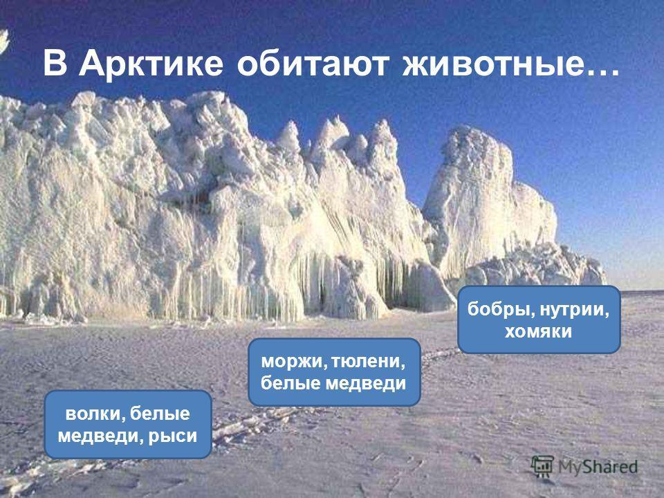В Арктике обитают животные… моржи, тюлени, белые медведи волки, белые медведи, рыси бобры, нутрии, хомяки