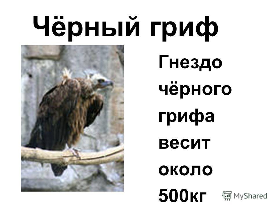 Гнездо чёрного грифа весит около 500кг