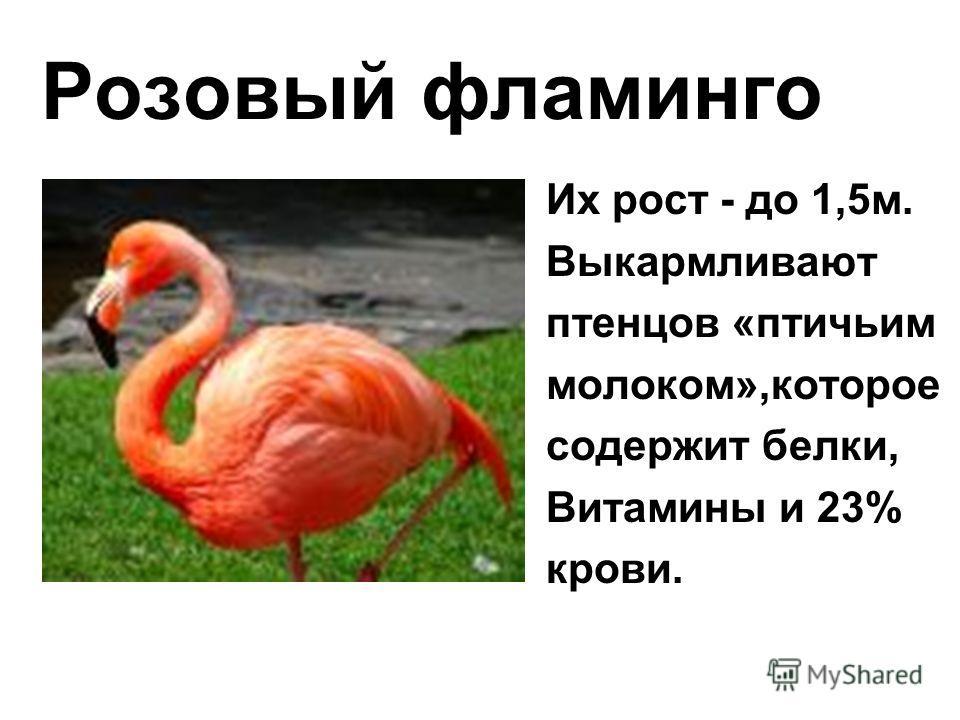 Розовый фламинго Их рост - до 1,5м. Выкармливают птенцов «птичьим молоком»,которое содержит белки, Витамины и 23% крови.