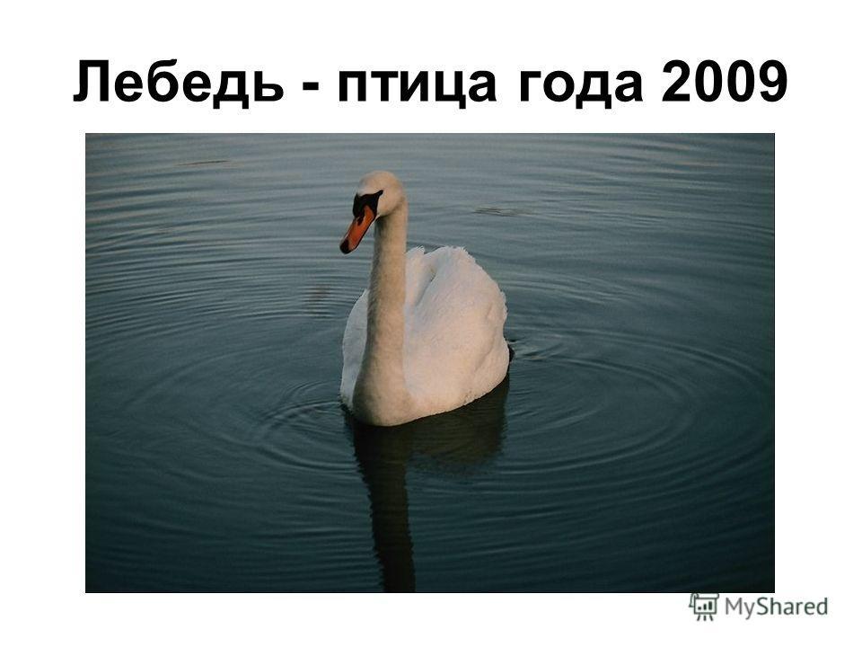 Лебедь - птица года 2009