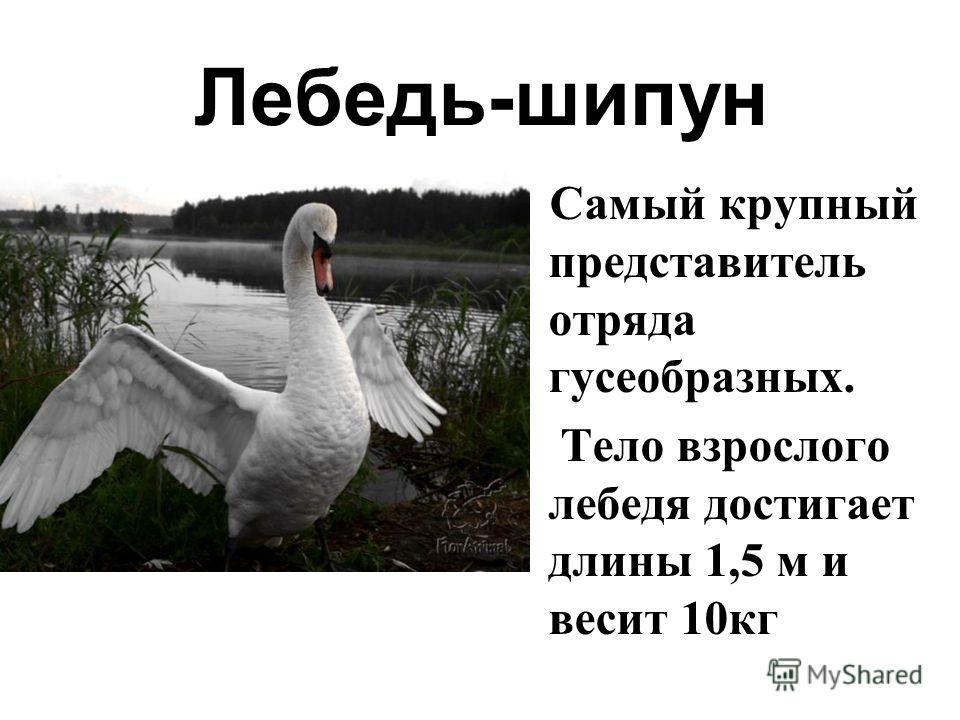 Лебедь-шипун Самый крупный представитель отряда гусеобразных. Тело взрослого лебедя достигает длины 1,5 м и весит 10кг