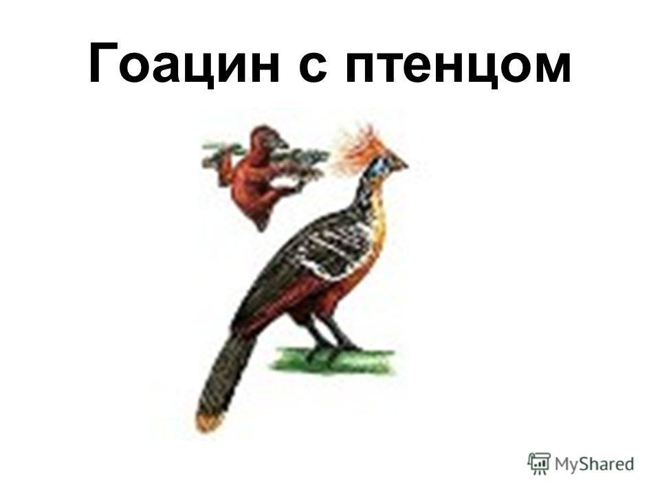 Гоацин с птенцом