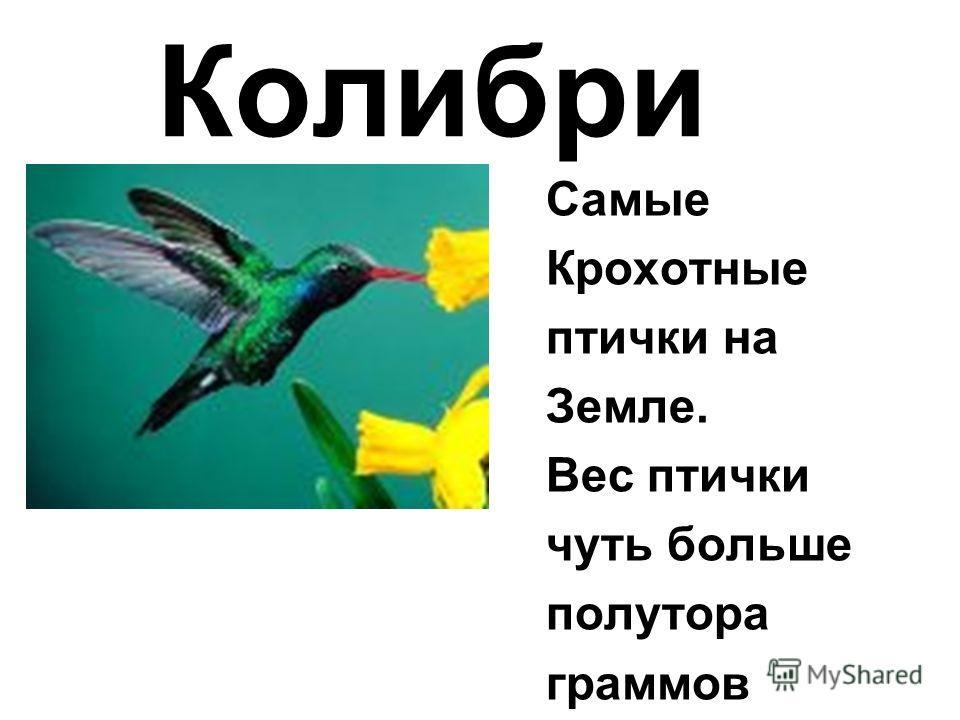 Самые Крохотные птички на Земле. Вес птички чуть больше полутора граммов