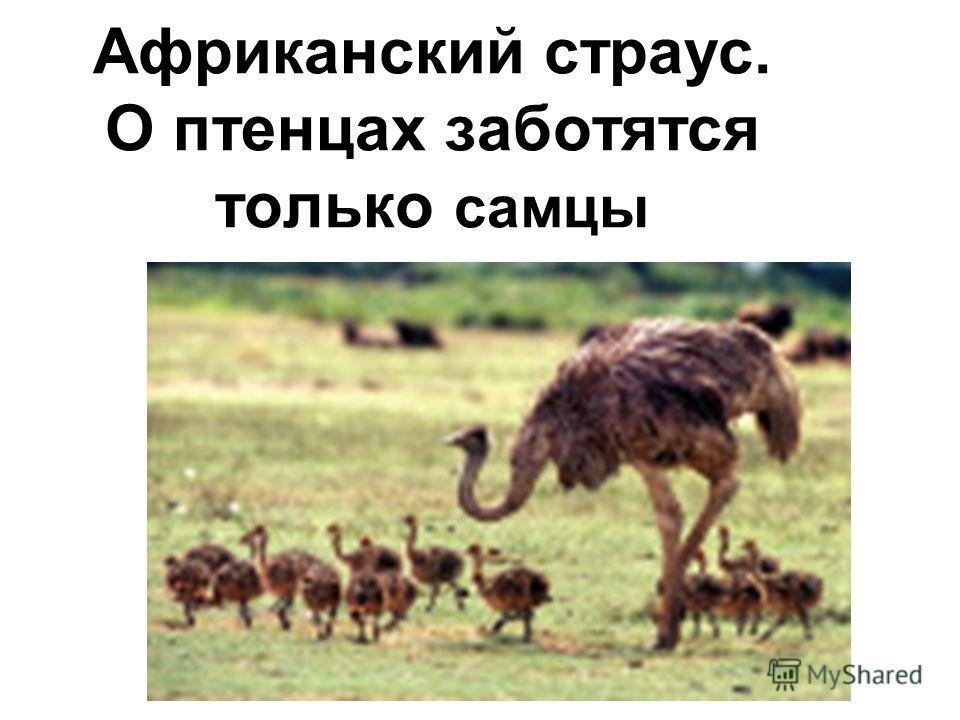 Африканский страус. О птенцах заботятся только самцы