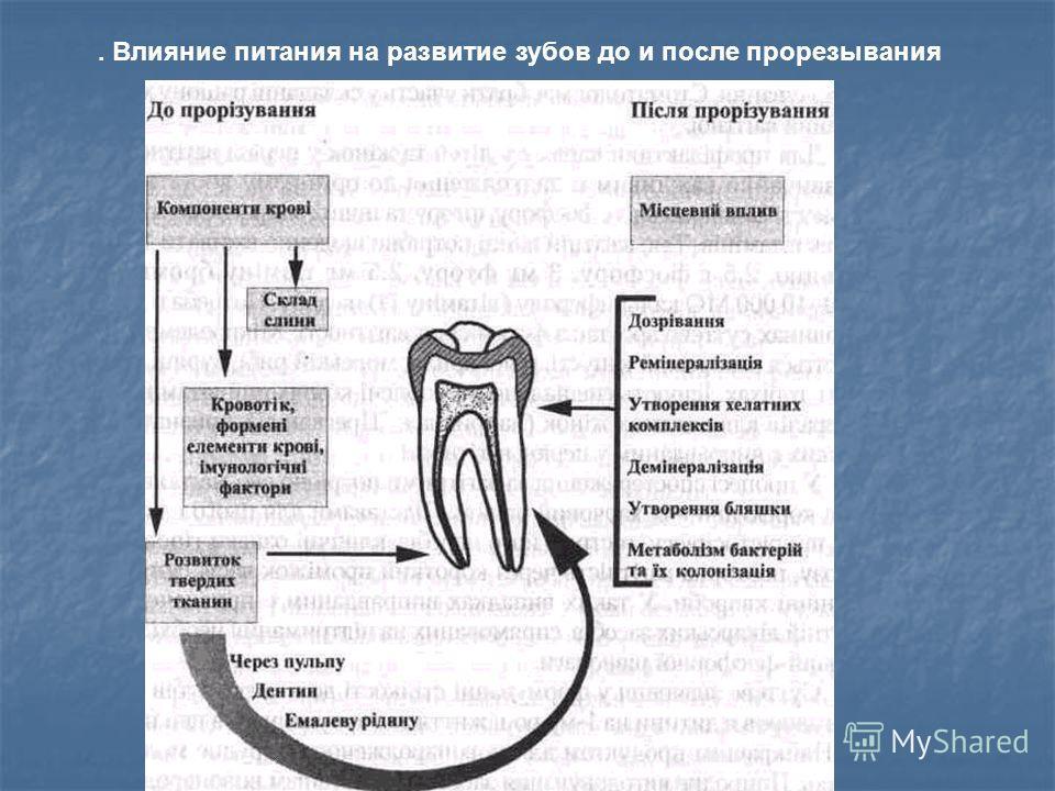 . Влияние питания на развитие зубов до и после прорезывания