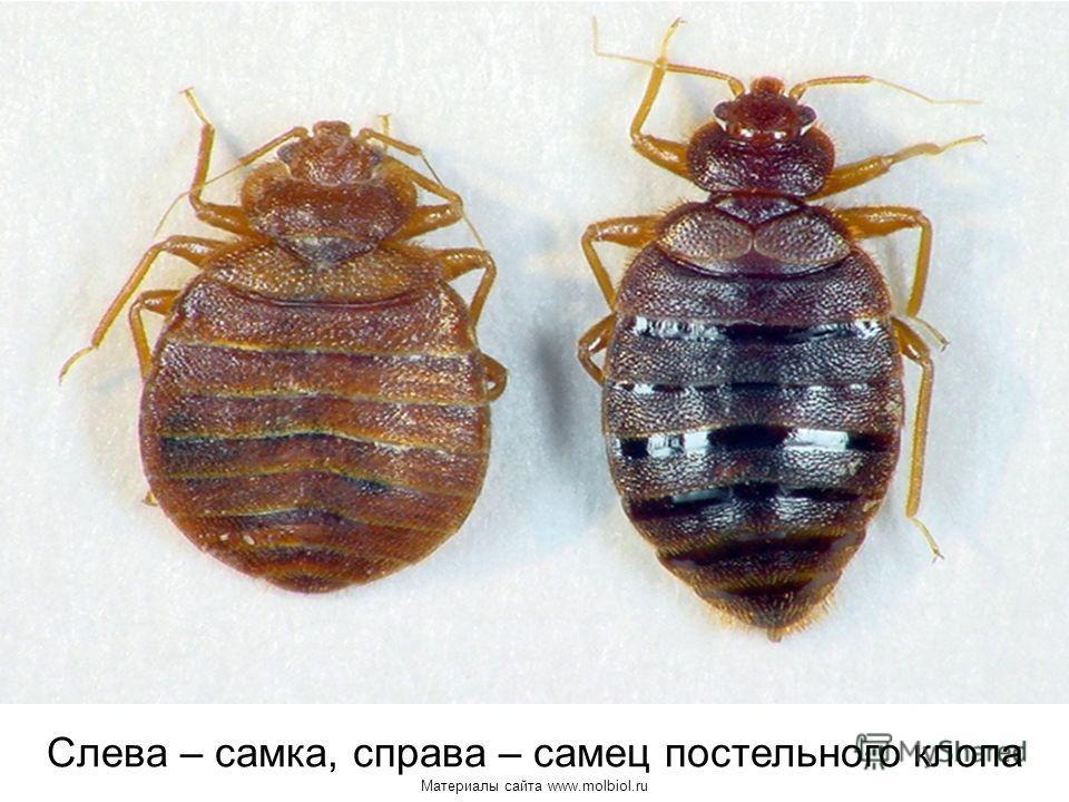 Слева – самка, справа – самец постельного клопа Материалы сайта www.molbiol.ru