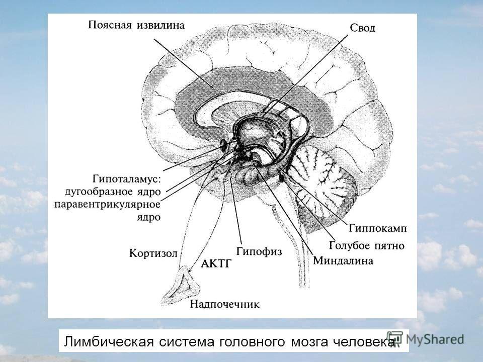 Лимбическая система головного мозга человека