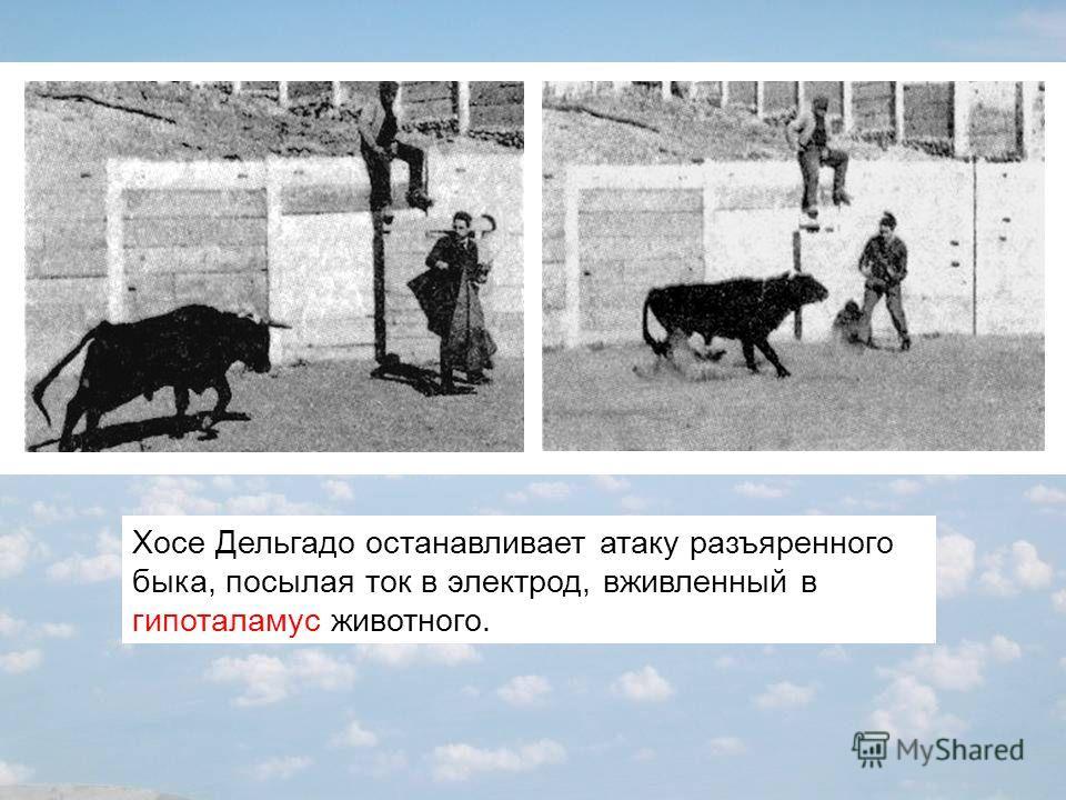 Хосе Дельгадо останавливает атаку разъяренного быка, посылая ток в электрод, вживленный в гипоталамус животного.