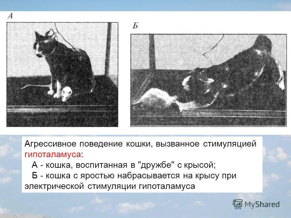 Агрессивное поведение кошки, вызванное стимуляцией гипоталамуса: А - кошка, воспитанная в дружбе с крысой; Б - кошка с яростью набрасывается на крысу при электрической стимуляции гипоталамуса