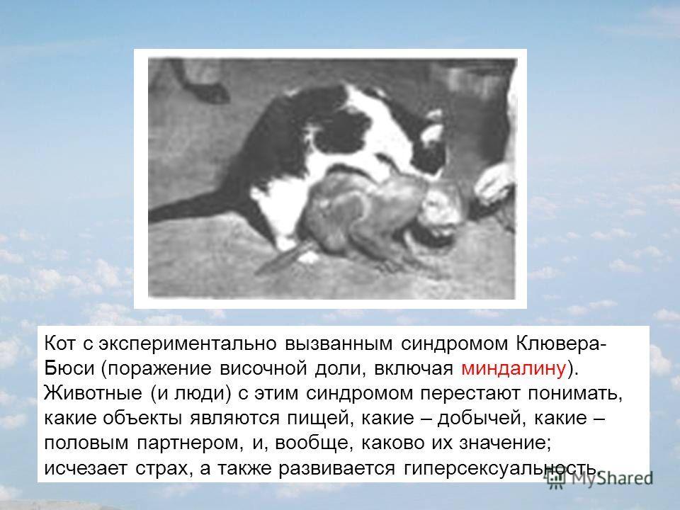 Кот с экспериментально вызванным синдромом Клювера- Бюси (поражение височной доли, включая миндалину). Животные (и люди) с этим синдромом перестают понимать, какие объекты являются пищей, какие – добычей, какие – половым партнером, и, вообще, каково