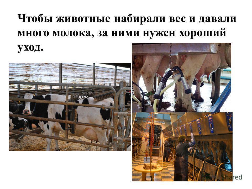 Чтобы животные набирали вес и давали много молока, за ними нужен хороший уход.