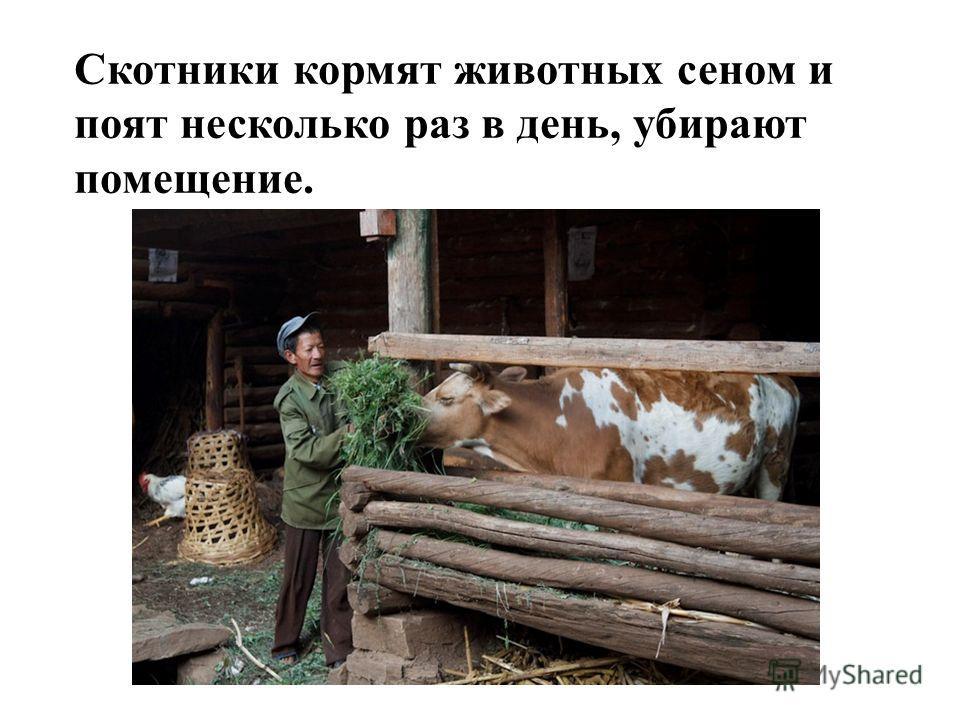 Скотники кормят животных сеном и поят несколько раз в день, убирают помещение.