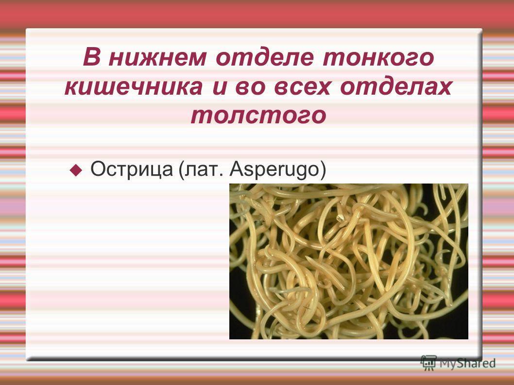 В нижнем отделе тонкого кишечника и во всех отделах толстого Острица (лат. Asperugo)