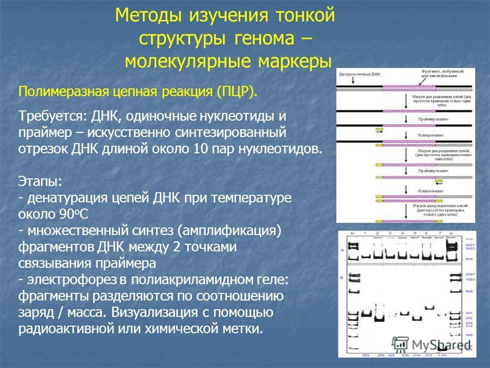 Методы изучения тонкой структуры генома – молекулярные маркеры Полимеразная цепная реакция (ПЦР). Требуется: ДНК, одиночные нуклеотиды и праймер – искусственно синтезированный отрезок ДНК длиной около 10 пар нуклеотидов. Этапы: - денатурация цепей ДН