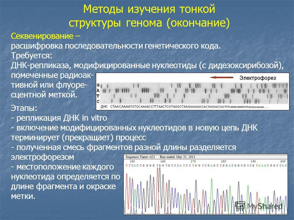 Методы изучения тонкой структуры генома (окончание) Секвенирование – расшифровка последовательности генетического кода. Требуется: ДНК-репликаза, модифицированные нуклеотиды (с дидезоксирибозой), помеченные радиоак- тивной или флуоре- сцентной меткой