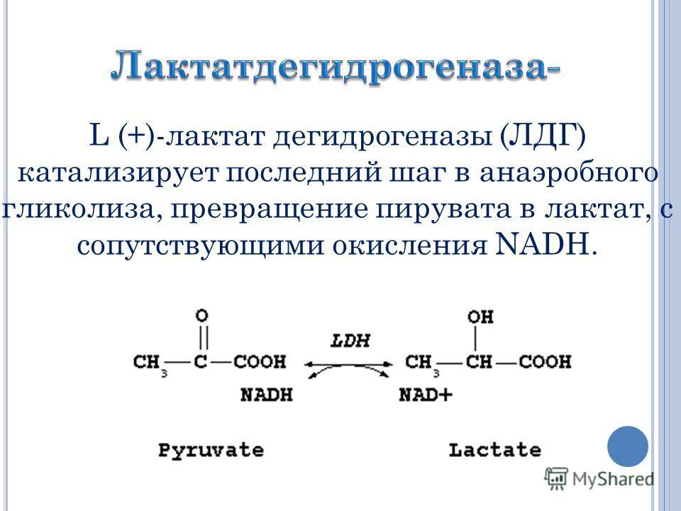 L (+)-лактат дегидрогеназы (ЛДГ) катализирует последний шаг в анаэробного гликолиза, превращение пирувата в лактат, с сопутствующими окисления NADH.