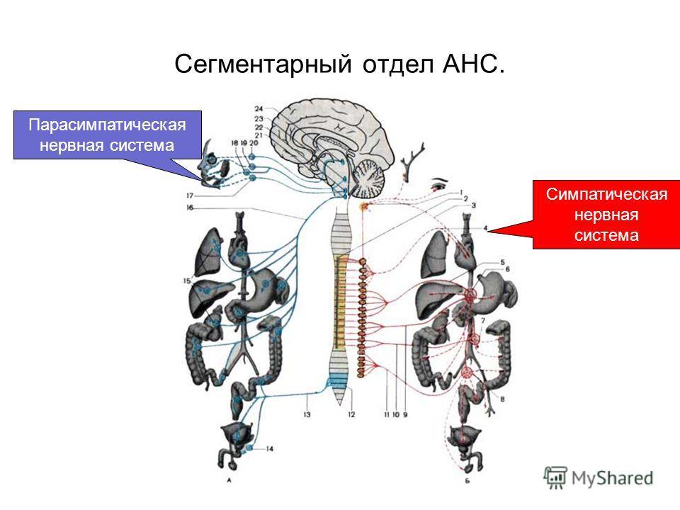 Сегментарный отдел АНС. Симпатическая нервная система Парасимпатическая нервная система
