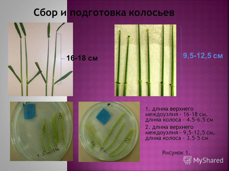 1. длина верхнего междоузлия – 16-18 см, длина колоса – 4.5-6.5 см 2. длина верхнего междоузлия – 9,5-12,5 см, длина колоса – 3.5-5 см Рисунок 1. 9,5-12,5 cм 16-18 cм