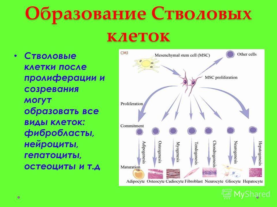 Образование Стволовых клеток Стволовые клетки после пролиферации и созревания могут образовать все виды клеток: фибробласты, нейроциты, гепатоциты, остеоциты и т.д