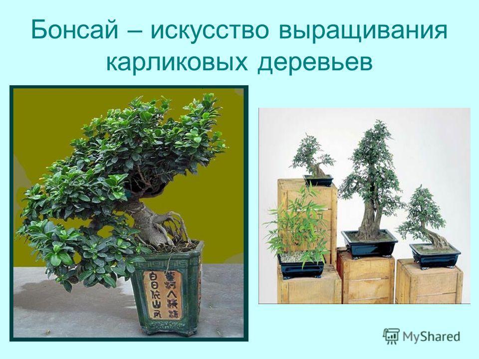 Бонсай – искусство выращивания карликовых деревьев
