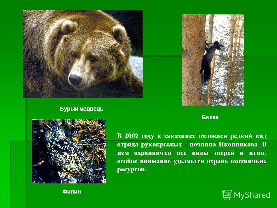 В 2002 году в заказнике отловлен редкий вид отряда рукокрылых - ночница Иконникова. В нем охраняются все виды зверей и птиц. особое внимание уделяется охране охотничьих ресурсов. Бурый медведь Белка Филин